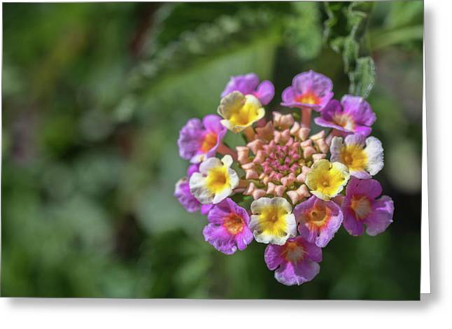 Lantana In Bloom Greeting Card