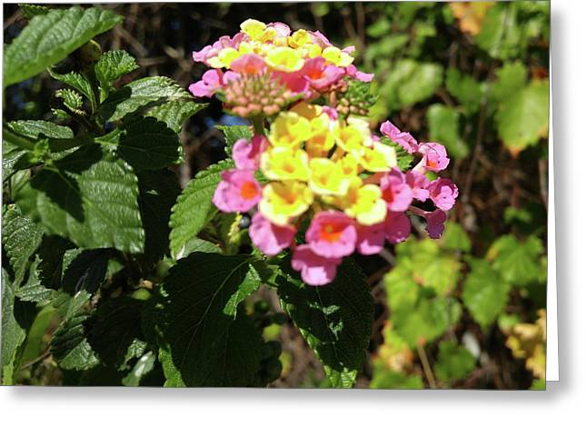 Lantana Greeting Card