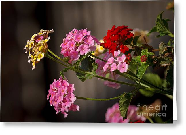 Lantana  Greeting Card by Robert Bales