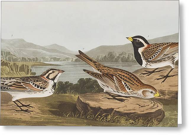 Lapland Long Spur Greeting Card by John James Audubon