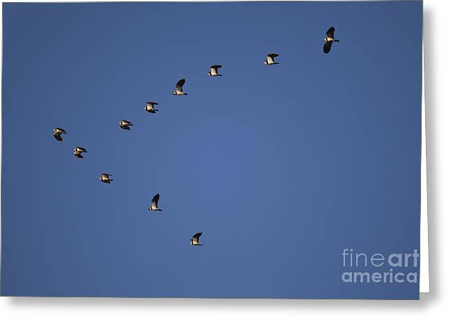 Lapwing Flock Greeting Card by Per-Olov Eriksson