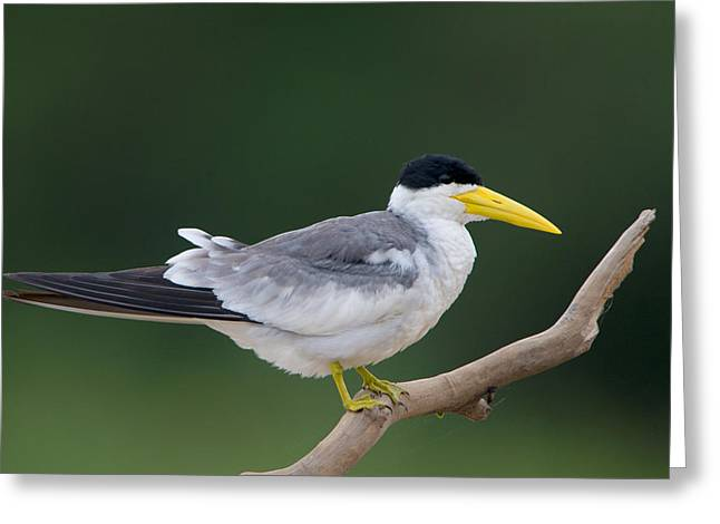 Large-billed Tern Phaetusa Simplex Greeting Card by Panoramic Images