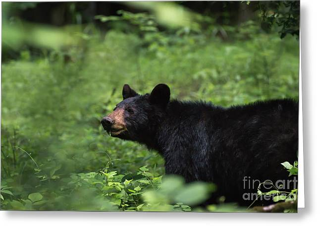 Greeting Card featuring the photograph Large Black Bear by Andrea Silies
