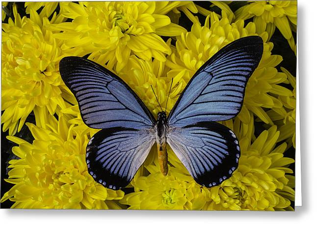 Large Blue Butterfly On Mums Greeting Card by Garry Gay