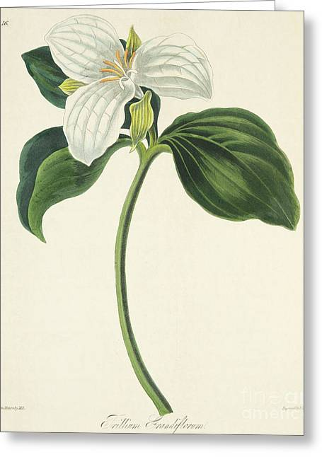 Large Flowered Trillium Greeting Card