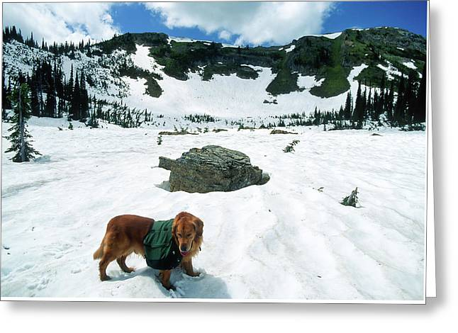 Large Golden Retriever Backpacking In The High Mountains In The  Greeting Card