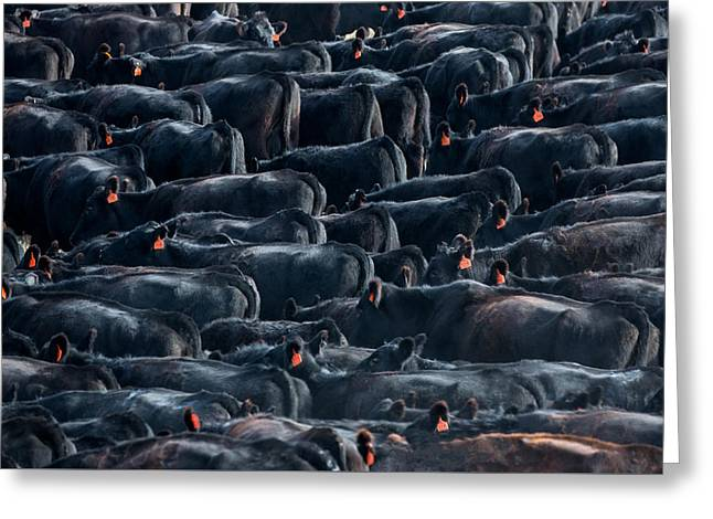 Large Herd Of Black Angus Cattle Greeting Card