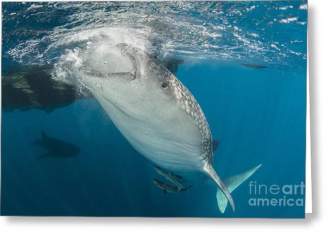 Large Whale Shark Siphoning Water Greeting Card by Mathieu Meur