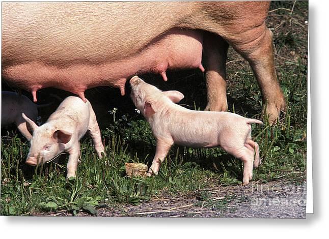 Large White Pig, Piglet Suckling Sow Greeting Card