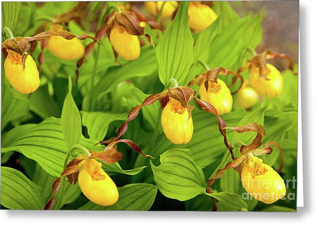 Large Yellow Lady's Slipper  Greeting Card by Susan Cole Kelly