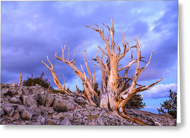 Last Light On The Bristlecones Greeting Card