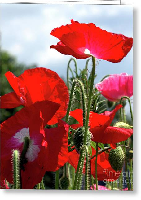 Last Poppies Of Summer Greeting Card by Stephen Melia