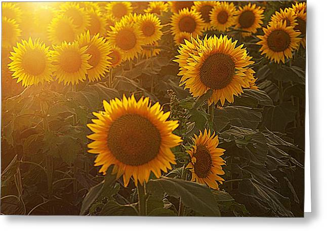 Late Afternoon Golden Glow Greeting Card