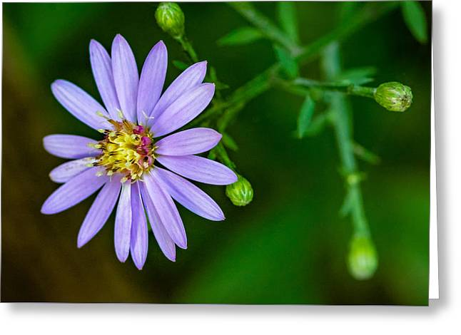 Late Purple Aster Greeting Card by Steve Harrington
