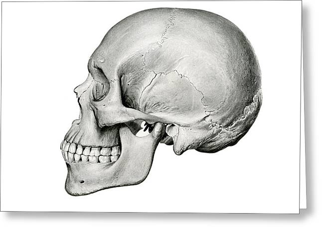 Lateral View Of Human Skull Greeting Card
