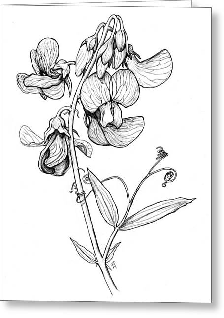 Lathyrus Sylvestris Greeting Card
