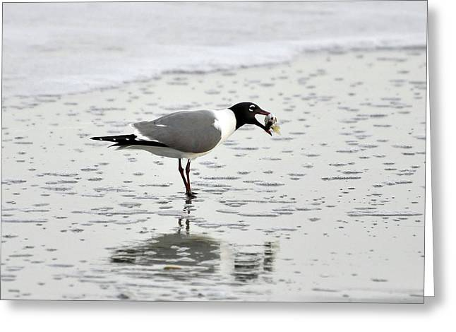 Laughing Gull Meal Greeting Card by Al Powell Photography USA