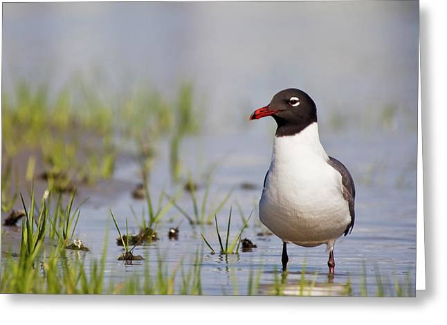 Laughing Gull On Taylors Creek Greeting Card