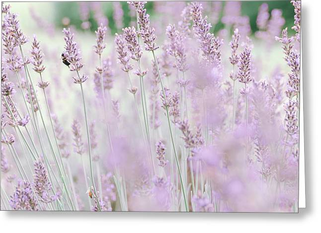 Greeting Card featuring the photograph Lavender 6 by Andrea Anderegg