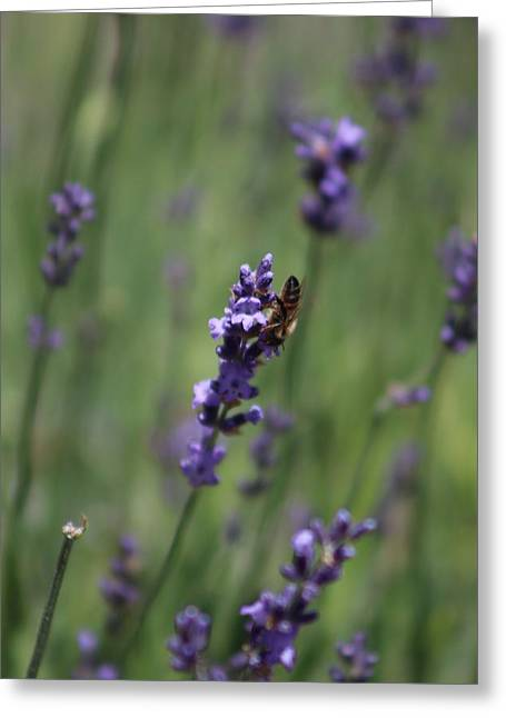 Lavender And Honey Bee Greeting Card