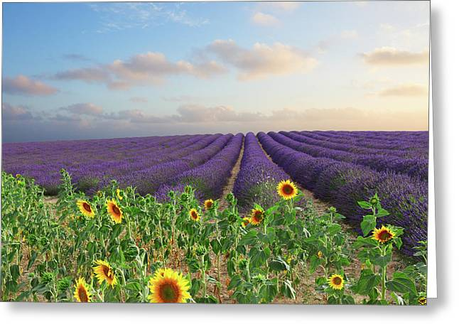 Lavender And Sunflower Flowers Field Greeting Card