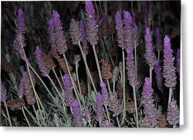 Lavender At Night Greeting Card by Jean Booth