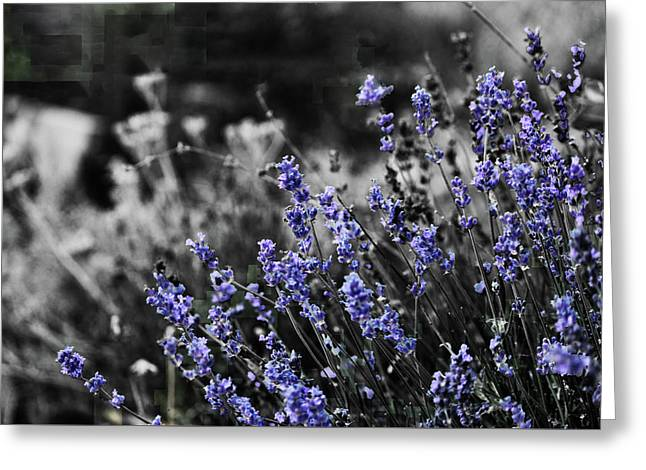 Lavender B And W Greeting Card
