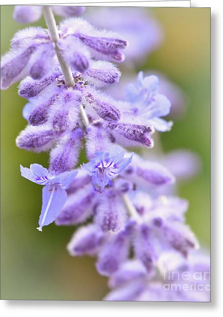 Greeting Card featuring the photograph Lavender Blooms by Kerri Farley