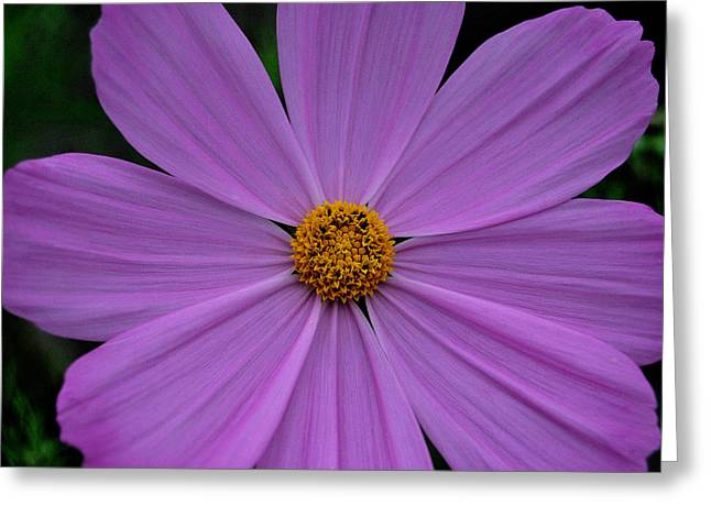 Lavender Cosmos Greeting Card by Marilynne Bull