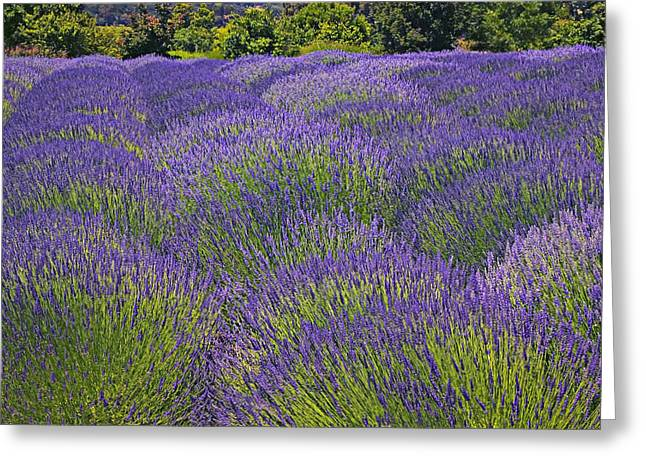Lavender Fields Greeting Cards - Lavender field Greeting Card by Garry Gay