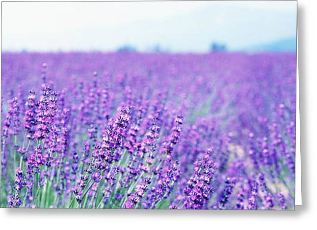 Lavender Field Japan Greeting Card