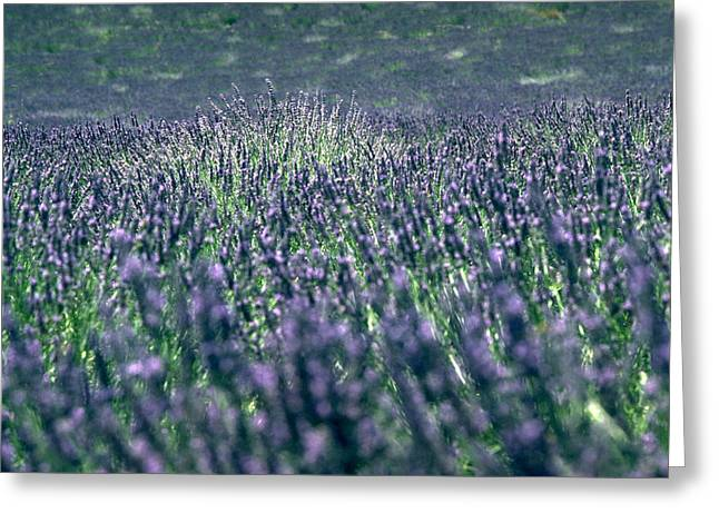 Lavender Greeting Card by Flavia Westerwelle