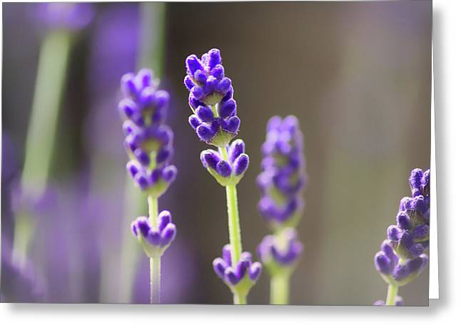 Lavender Flower Greeting Card by Martin Newman