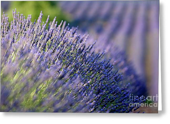 Lavender Flowers In A Field Greeting Card by Sami Sarkis
