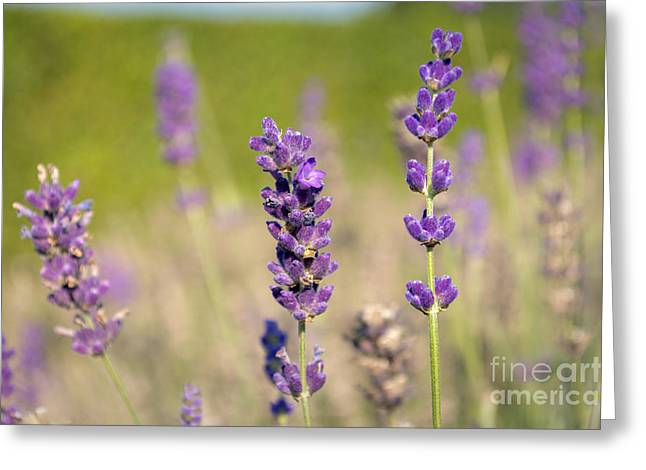 Lavender Flowers Greeting Card by Sinisa CIGLENECKI
