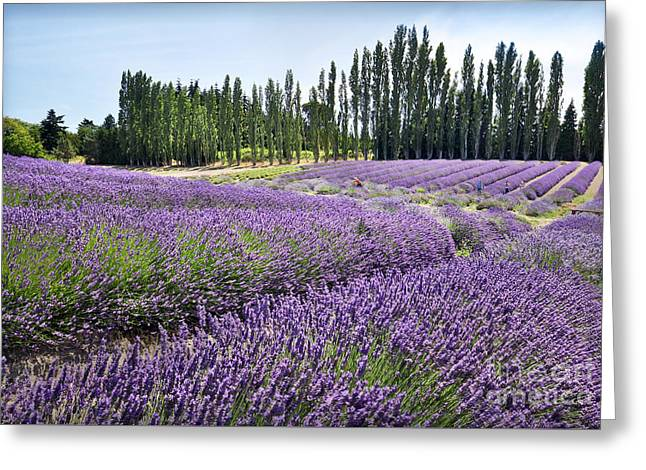 Lavender Hills Greeting Card