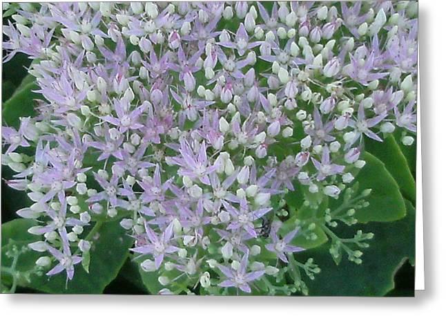 Lavender Lovelies Greeting Card by Anne-Elizabeth Whiteway