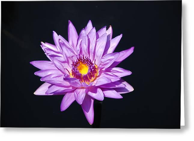 Lavender On Black Greeting Card by William Thomas