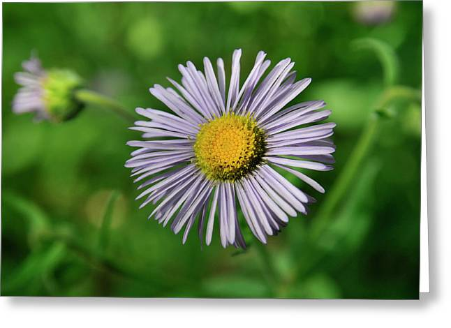 Lavender Serenity Greeting Card