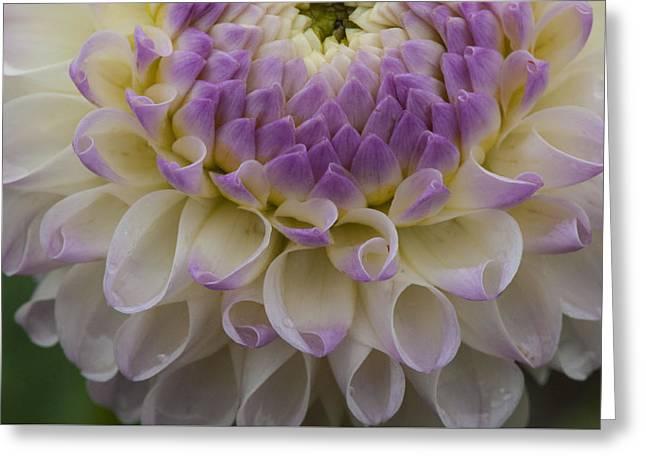 Lavender Shades Greeting Card