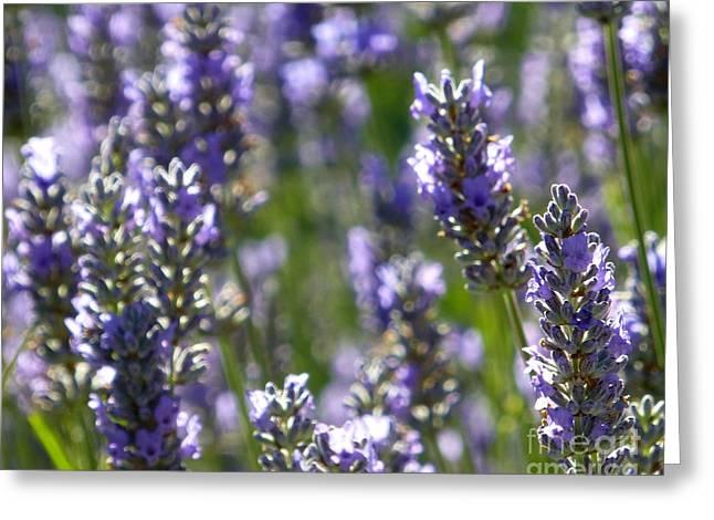 Lavender Up Close Greeting Card