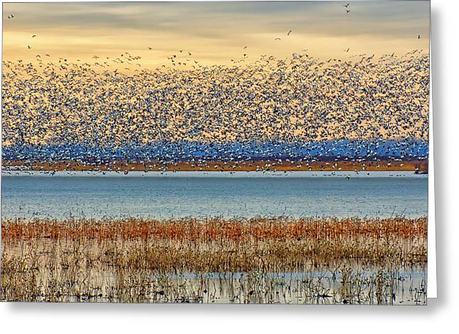 Layers - Snow Geese Greeting Card by Nikolyn McDonald