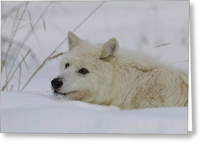 Laying In The Snow Greeting Card