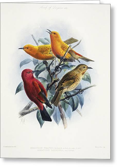 Hawaiian Vintage Art Greeting Cards - Laysan Honeycreeper Greeting Card by Reggie David - Printscapes