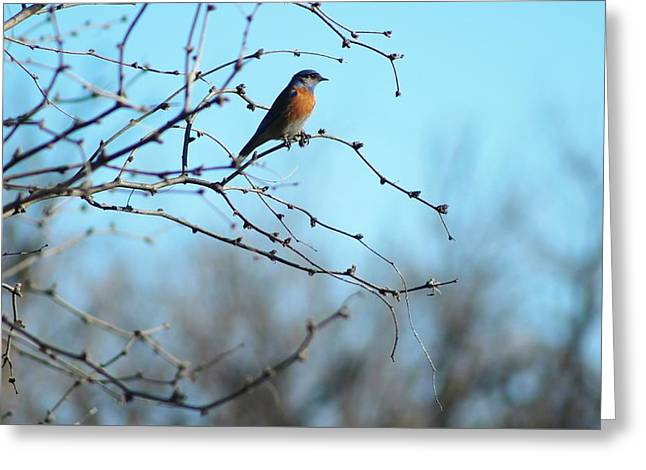 Lazuli Bunting Looks Out Greeting Card