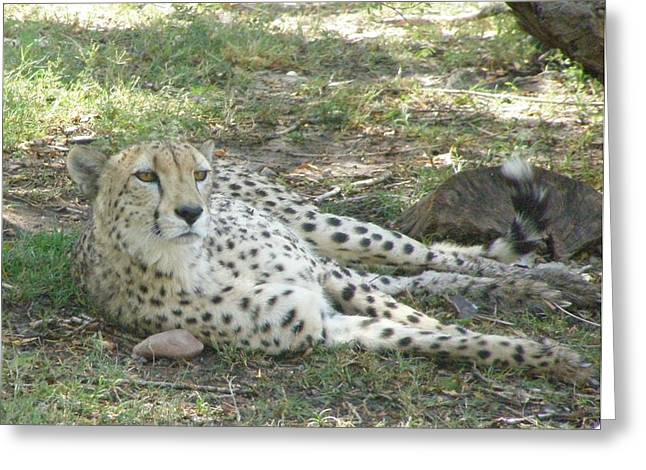 Lazy Cheetah Greeting Card by Jeanette Oberholtzer