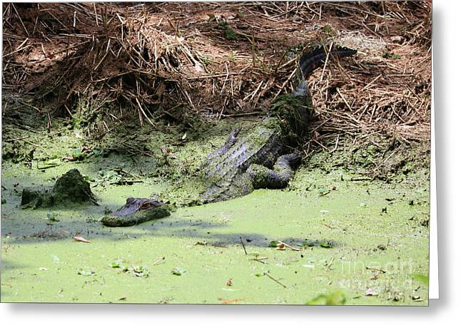 Lazy Day In The Swamp Greeting Card by Carol Groenen