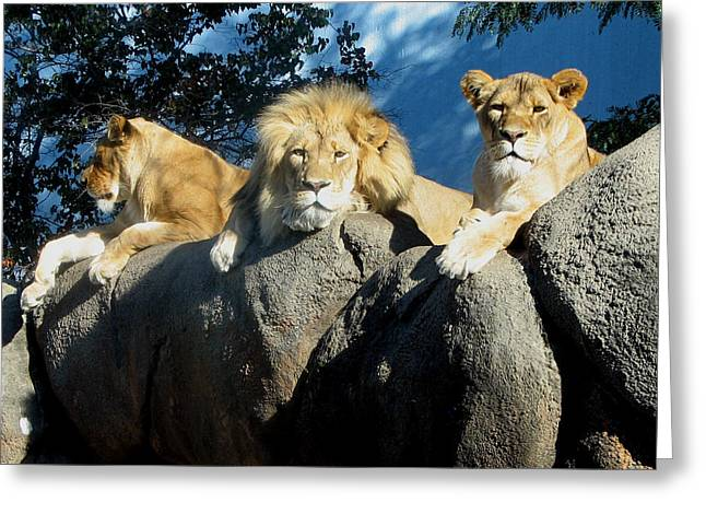 Lazy Day Lions Greeting Card by George Jones
