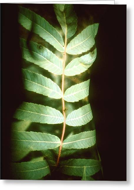 Leaf Frond Greeting Card