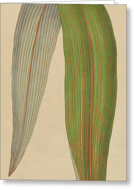 Leaf Of A Mountain Cabbage Tree Or Bush Flax Greeting Card by English School